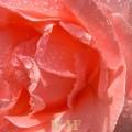 Rosa do meu quintal