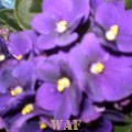 Glamour ( flores encantadoras)