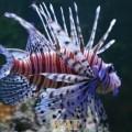 Dragon fish