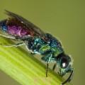 Chrysidid wasp (Hedychrum rutilans)