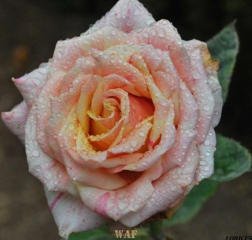 Rosas de Sintra