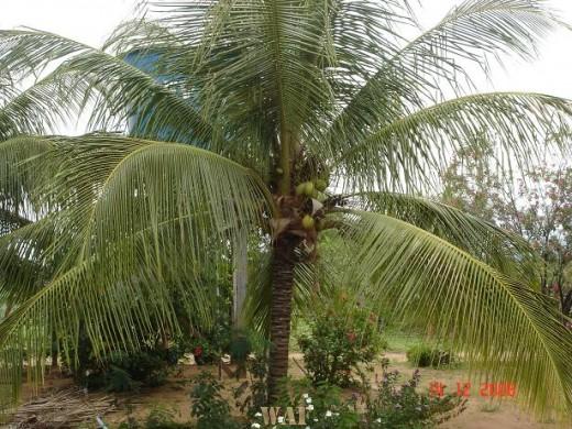 O coqueiro (onde há uma água deliciosa hummm!!!)