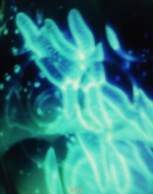 Cromosoma celeste