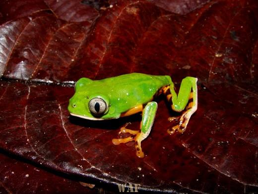 Pererequinha verde!!!