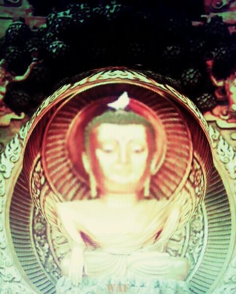 Paloma del Buda