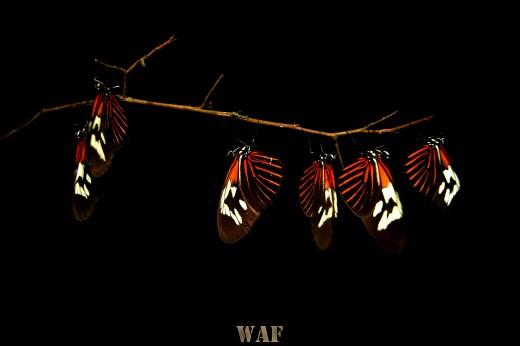 Cacho de borboletas !!!