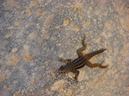 a Lava Lizard on the Galapagos Islands (Santa Fe Island 12/24/07)